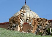 Tigers at Terra Natura costa blanca